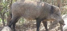 Declaração obrigatória de existências de suínos durante o mês de agosto